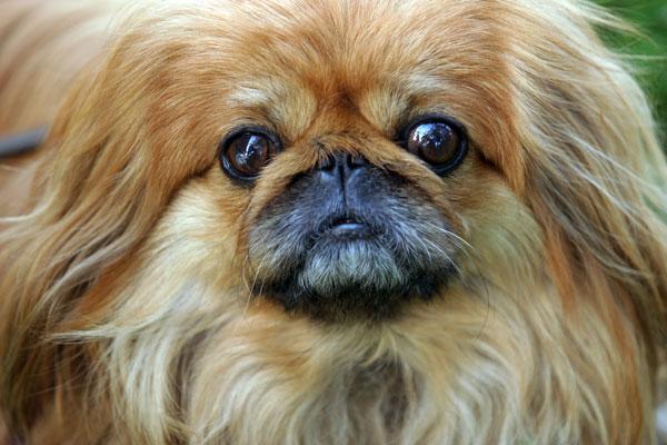 Cute And Adorable Pekingese Dog