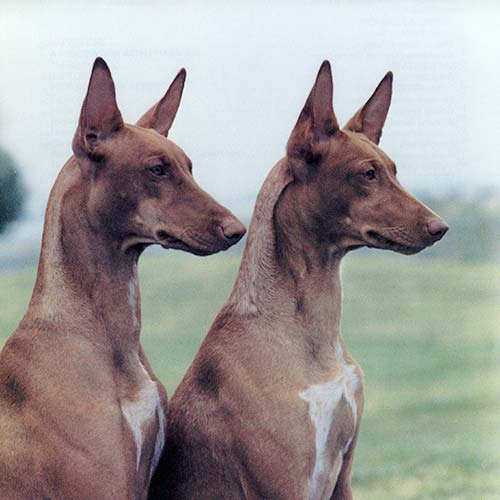 Pharaoh Hound Dog