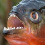 Piranha Pictures