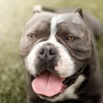 Pit Bull Facts: Do You Know The Truth?