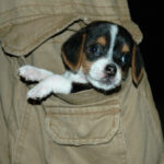 Cute Pocket Beagles Dog