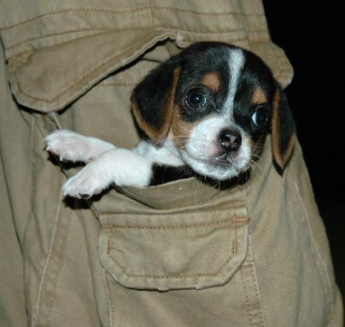 Cute Pocket Beagles Dog