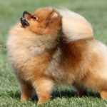 Pomeranian Dog Breed – Facts and Personality Traits
