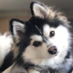 Cute Pomsky Dog