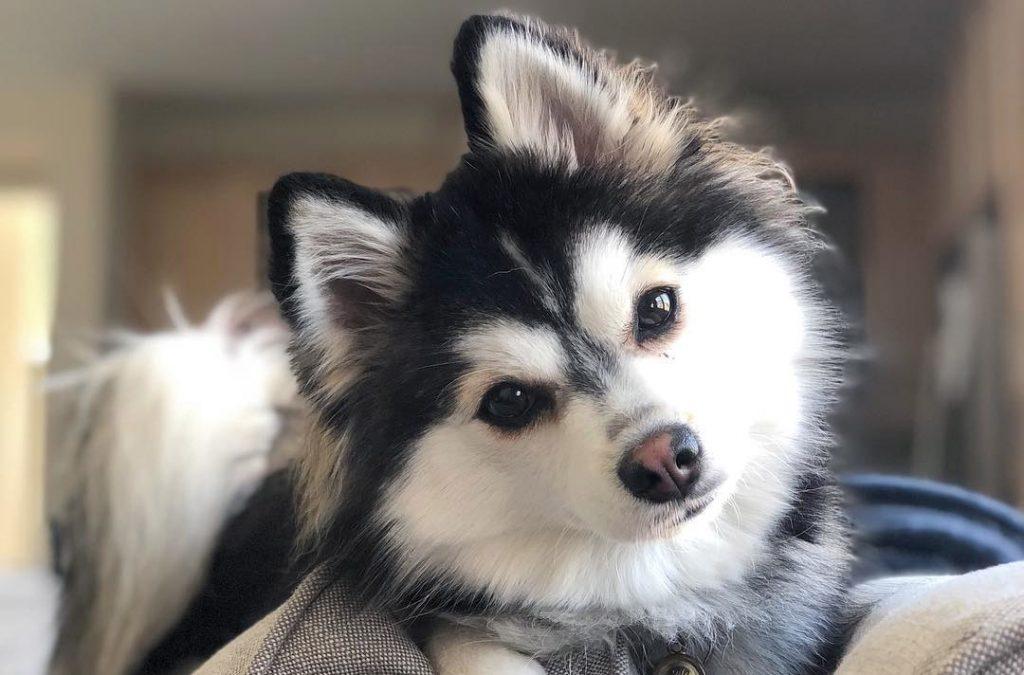 Cute Pomsky Dog