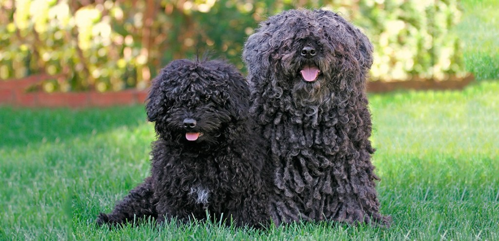 Puli Dog Picture