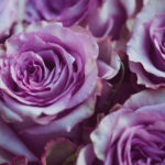 Beautiful Purple Roses