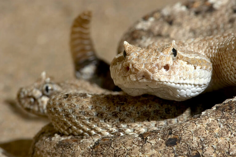 Rattlesnake Pictures