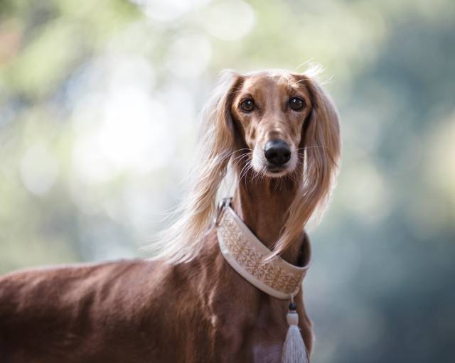 Saluki Dog Pictures