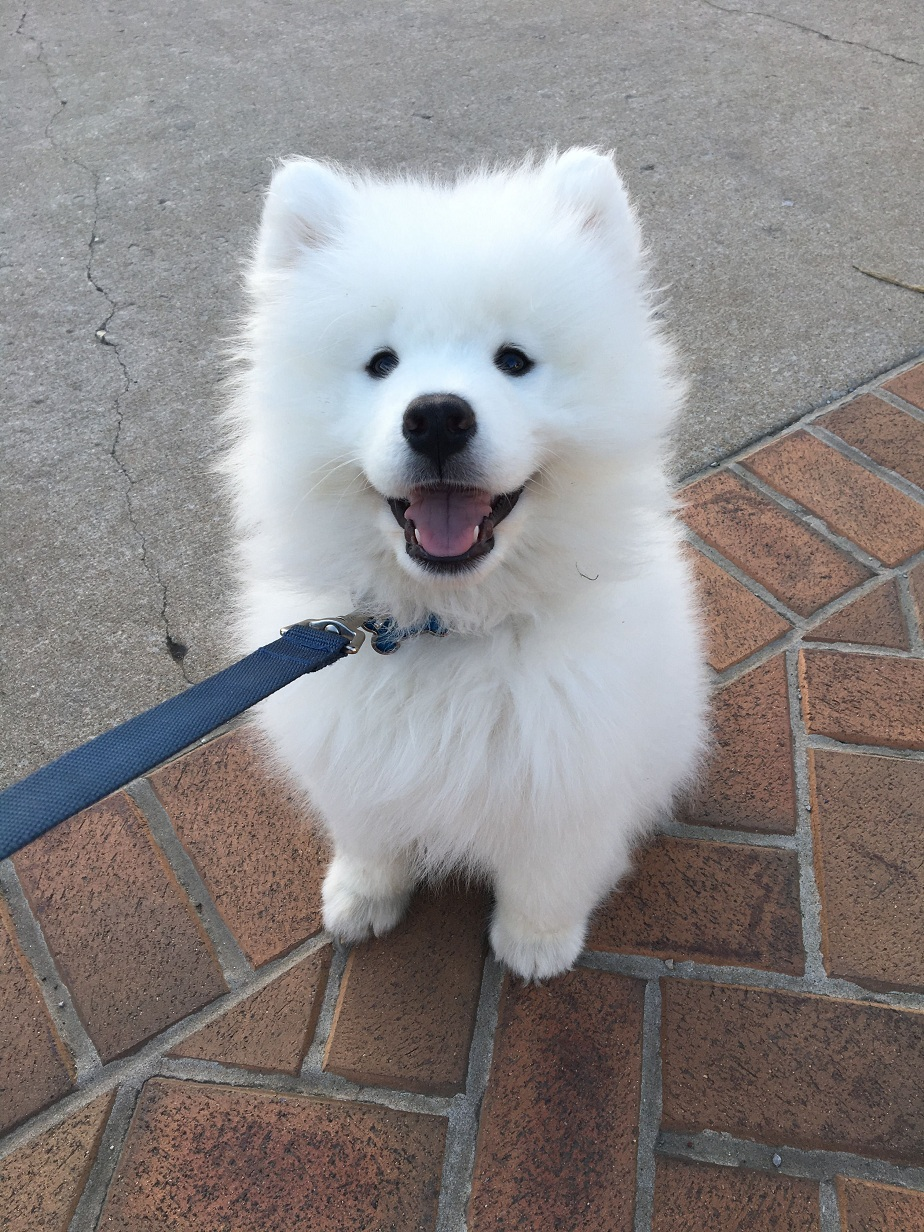 Samoyed Dog Pictures