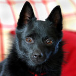 Schipperke Dog Picture