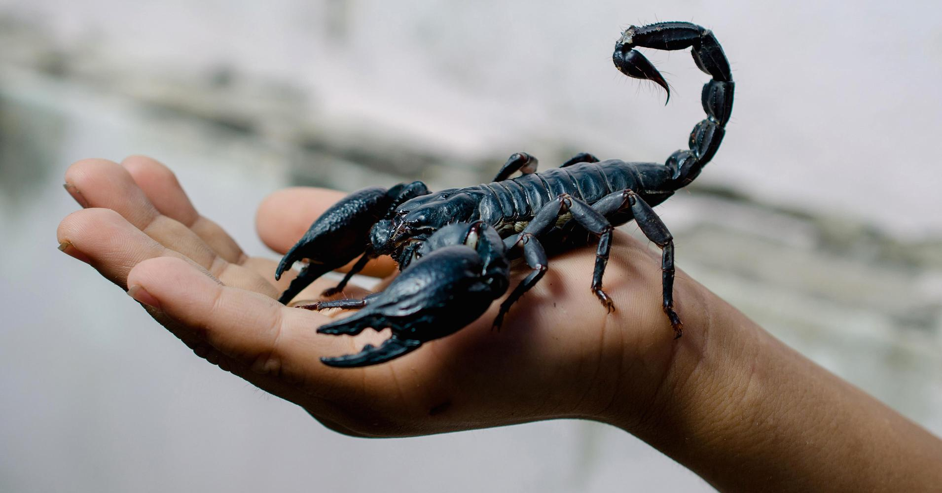 Scorpion Pictures