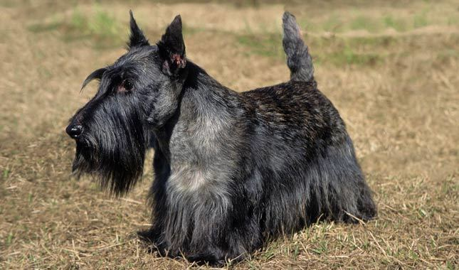 Scottie Cramp in Dogs – Symptoms, Causes, Diagnosis