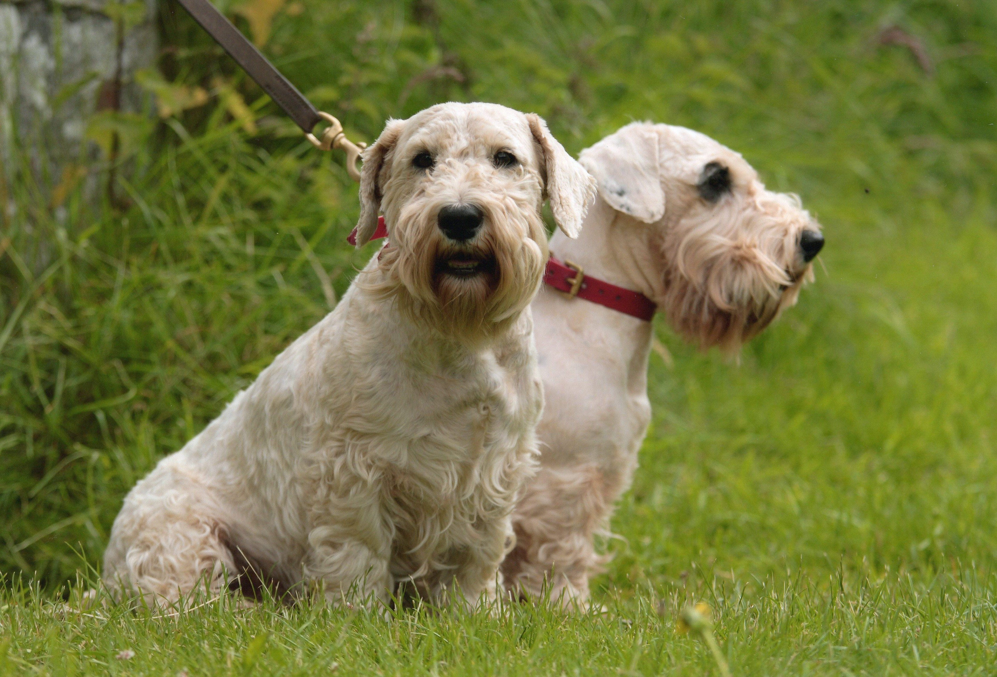 Sealyham Terrier Dog