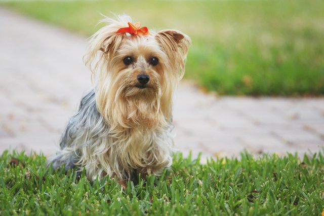 Silky Terrier Dog