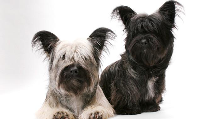 Skye Terrier Dog