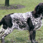 Small Munsterlander Pointer Dog