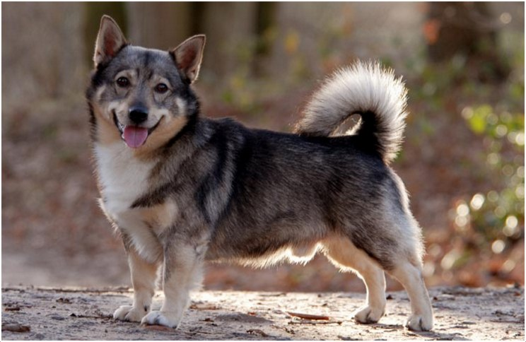 Swedish Vallhund Dog