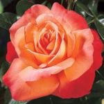 Beautiful Tea Rose