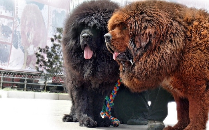 What You Need to Know before Getting a Tibetan Mastiff
