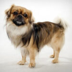 Tibetan Spaniel Dog