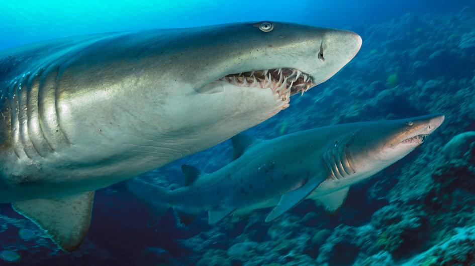Tiger Sharks Pictures