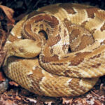 Timber Rattlesnake Pictures