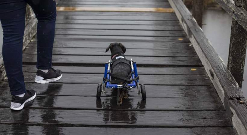 Tips for Traveling with a Disabled Pet
