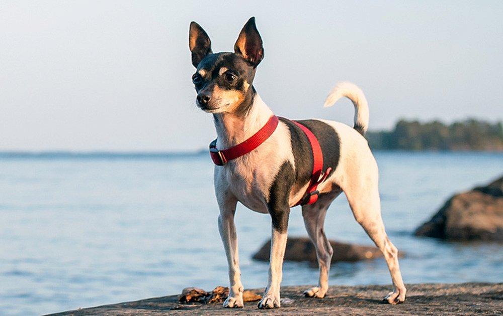 Toy Fox Terrier Dog