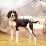 Treeing Walker Coon Hounds Dog