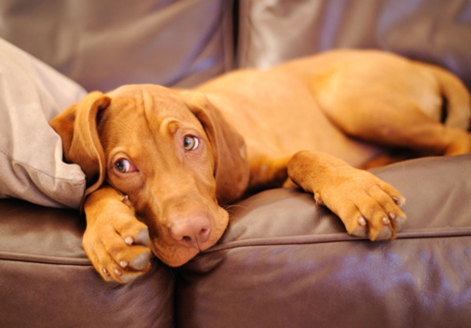 Vizsla Dog Pictures