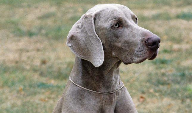Weimaraner Dog Pictures