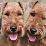 Welsh Terrier Dogs