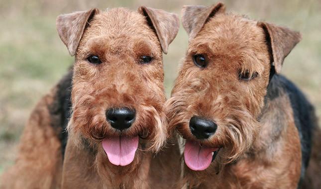 Welsh Terrier Dogs