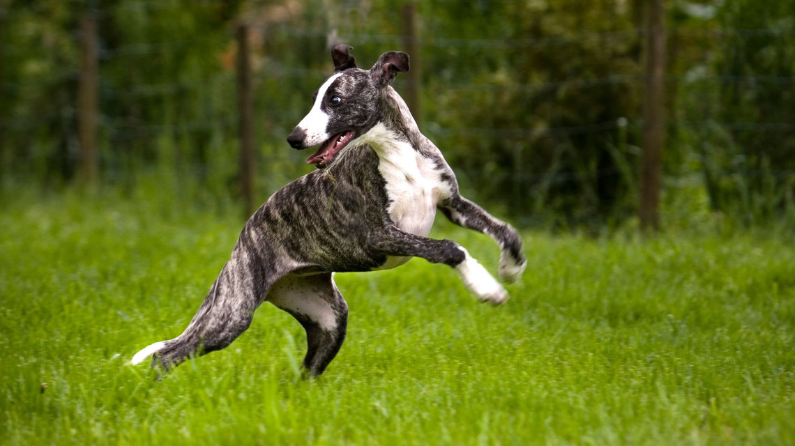 Whippet Dog Pictures