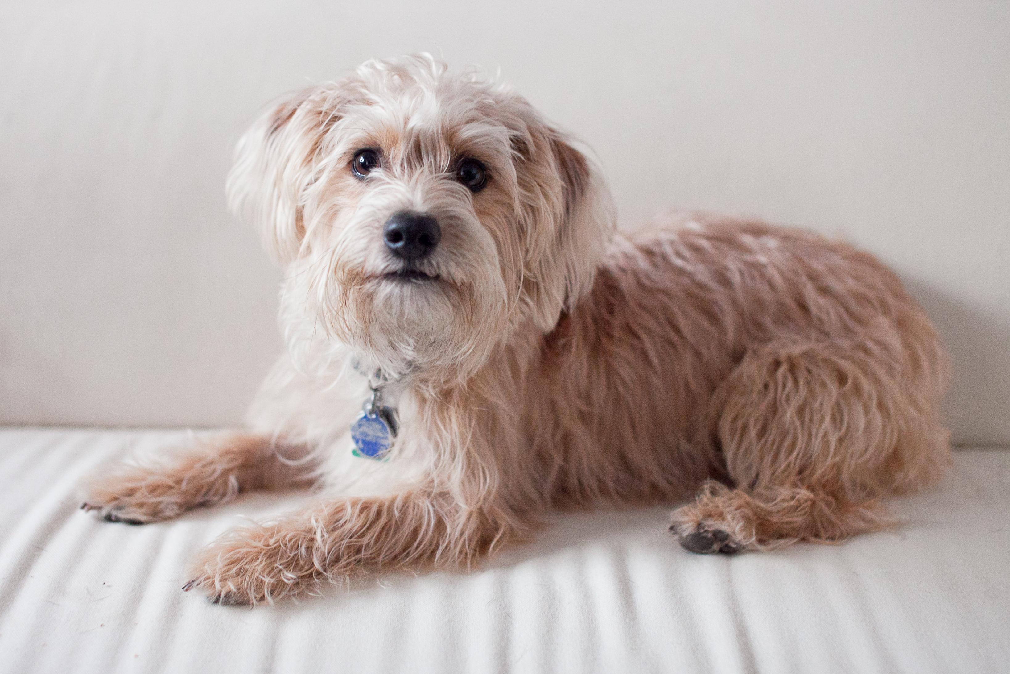 Yorkiepoo Dog Pictures